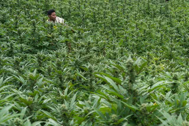 cannabis field colombia outdoor