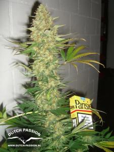 powerplant-cola-plant-strain