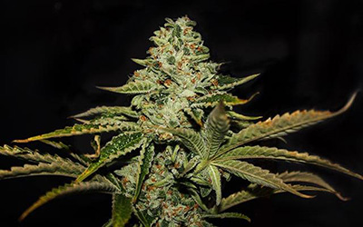 Dark Star – TH Seeds – Experience and Strain Review