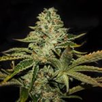 Dark Star - TH Seeds - Experience and Strain Review