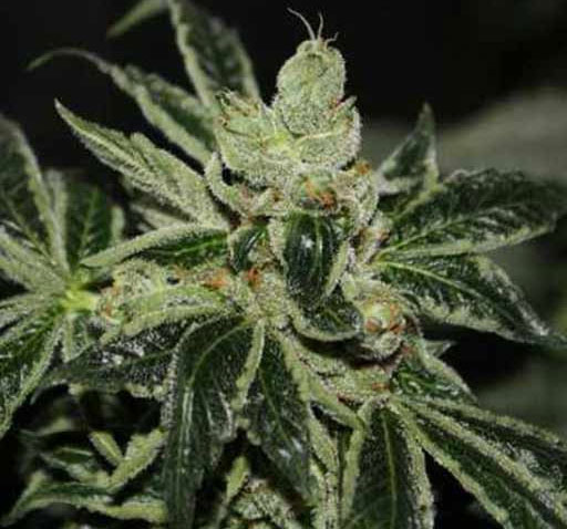 image of Dark Star marijuana buds