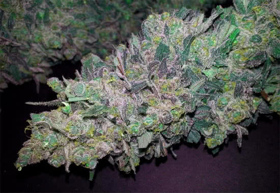 Humboldt Seeds Lemon Thai Kush marijuana strain seeds