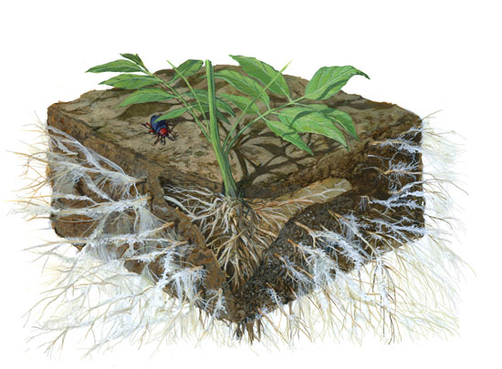 myco fungi on roots visual