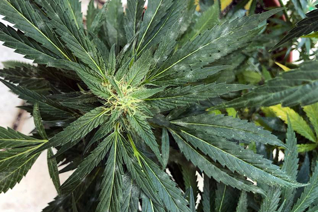 6 Ways to Cure Powdery Mildew on Cannabis Organically