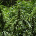 Top 10 Best Hard Hitting Bud Fertilizers