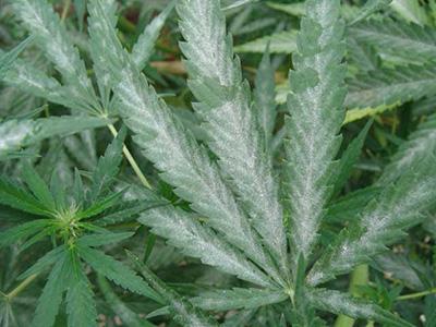 6 Ways to Cure Powdery Mildew on Cannabis Organically