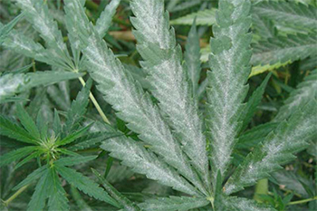 Powdery mildew on Cannabis