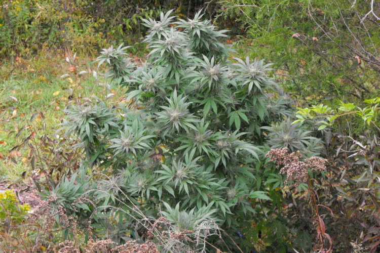 Purple Kush Strain – Legends of Marijuana (Buy Seeds)