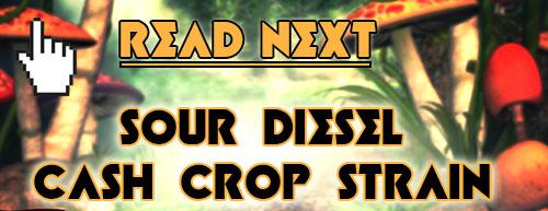 sour-diesel-cash-crop-strain-read-next