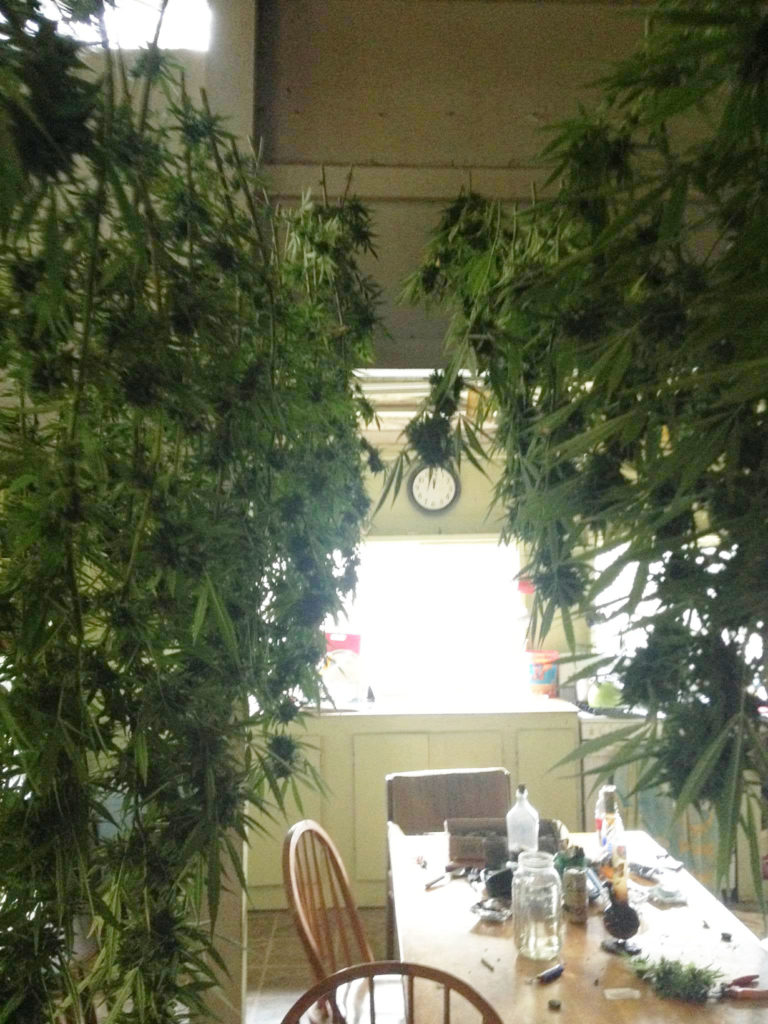 fresh-cut marijuana buds drying