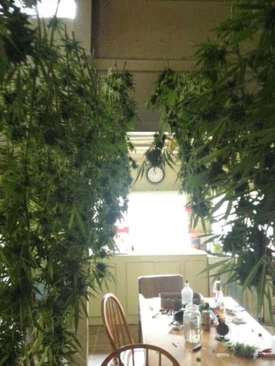 fresh-cut marijuana buds drying