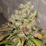 Top 11 Best Sativa Strains and Seeds for 2017