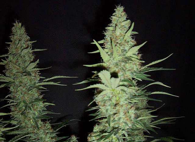maui-wowie-strain-plant