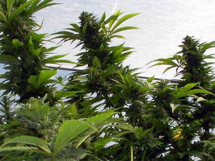 cannabis plant thcv grow