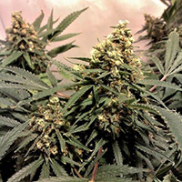 Pure Power Plant Strain