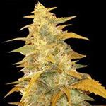 Afghan Kush Fem Seeds
