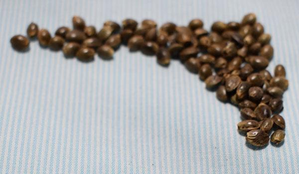 Autoflowering Cananbis Seeds USA