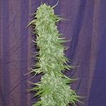 Cinderella 99 BX-1 Regular Seeds