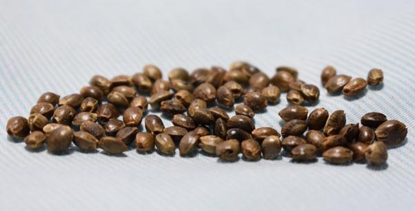 Regular Cananbis Seeds USA