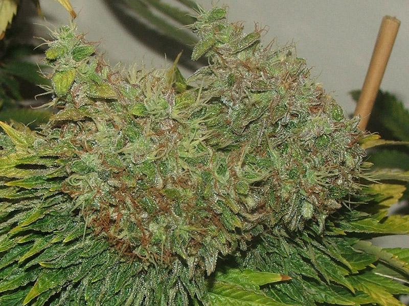 G13 x Hash Plant