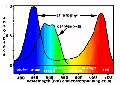 PAR Spectrum Graph: Red and Blue Light Wavelength Plant Absorption