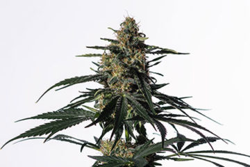UNREAL 20:1 High CBD Strains - Medical Marijuana Seeds