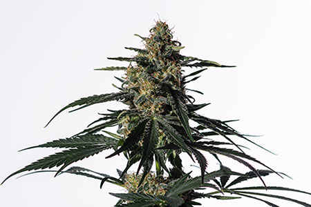 UNREAL 20:1 High CBD Strains – Medical Marijuana Seeds