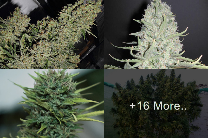 Top HIGH YIELD Strains List: Indoor & Outdoor Seeds