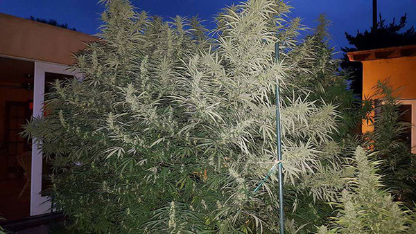 Top High Yield Strains List Indoor Amp Outdoor Seeds Mold