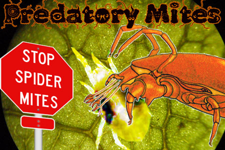 Predatory Mites: Get Rid of Spider Mites on Cannabis Organically