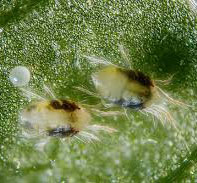 Spider mites magnified image