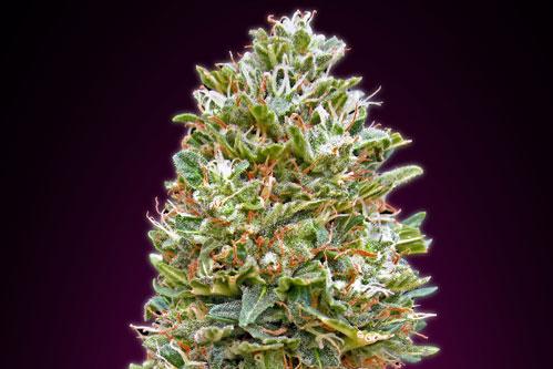 Top 15 Best Autoflowering Seeds Mold Resistant Strains
