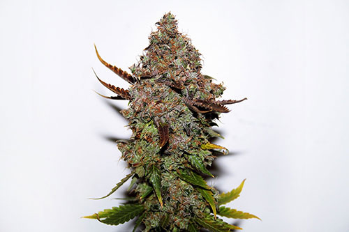 Original Skunk #1 Regular Seeds