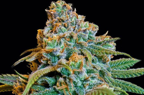 Top 15 Best Feminized Seeds | Mold Resistant Strains