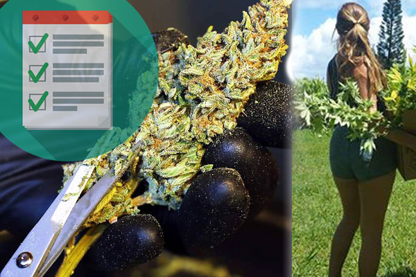 TRIM WEED CHECKLIST: Scissors & Harvest Supplies Guide