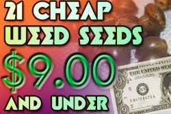 21 Cheap Weed Seeds $9 and Under