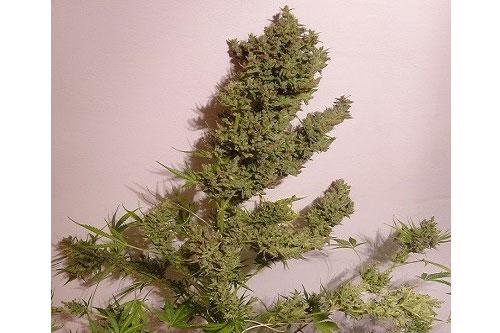 Malawi x NL Autoflowering Seeds