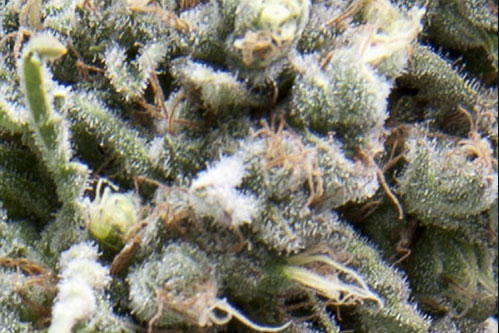 Auto White Widow Autoflowering Seeds