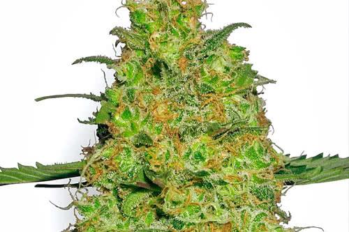 Master Kush Autoflowering Seeds