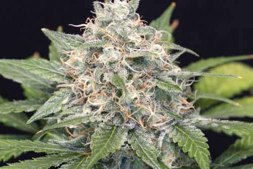 PineQueen Haze #14 Feminized Seeds