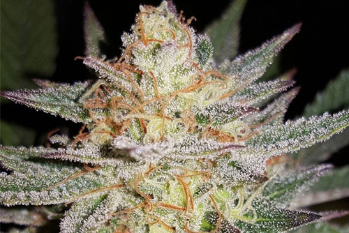 Sour Grape Regular Seeds