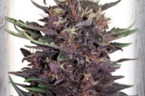 Violet Kush Autoflowering Seeds