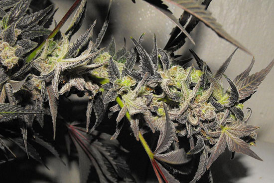 Casey Jones: cannabis strain with energy