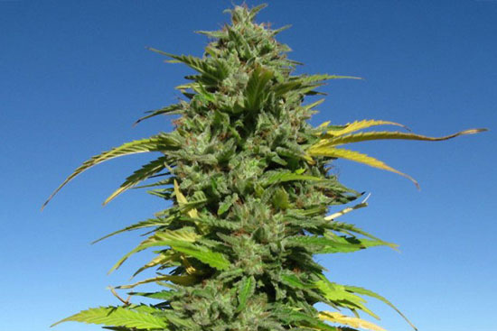 cbd-mango-sativa-strain-medical-marijuana-seeds