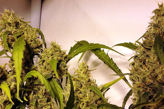 Jack Herer: sativa strain good for creativity
