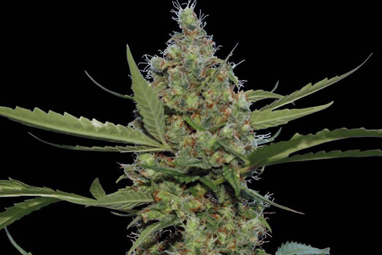 Laughing Buddha: energetic sativa strain