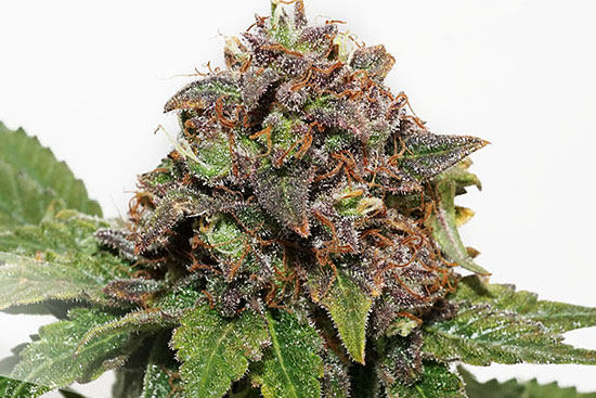 Strawberry Cough sativa strain