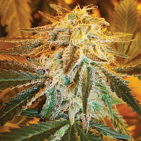 Northern Lights auto weed seeds
