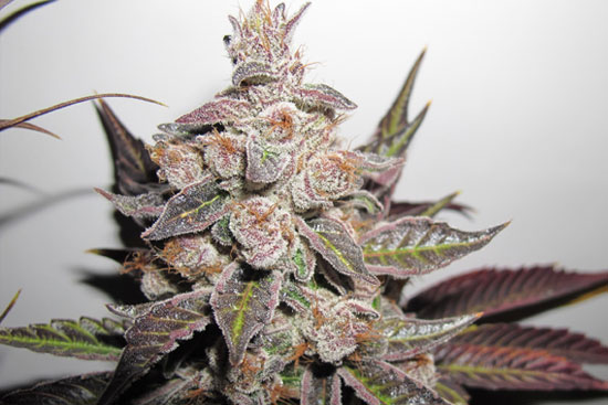 Purple Kush: grow a heavy dank indica strain from cannabis seeds Cannabis Indica Strain