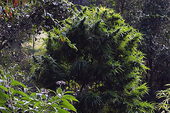 Thai: landrace cannabis pure-sativa strain seeds